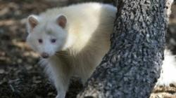 raton albinos