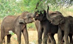 În mod inedit, bombele nucleare folosite acum câteva decenii ar putea salva elefanţii de la dispariţie!