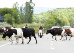 vaci crescute