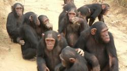 cimpanzeii