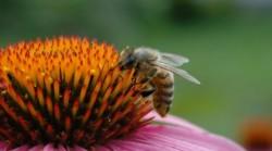 Albinele vin in ajutorul medicinei