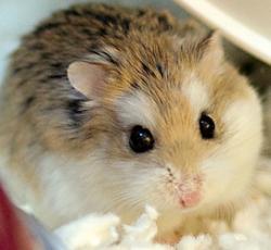hamster_pitic_rusesc.jpg