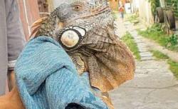 iguana la Galati