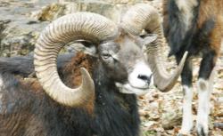 muflon european