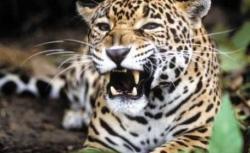 parfumul si jaguarul