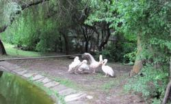 pelicani si lebede