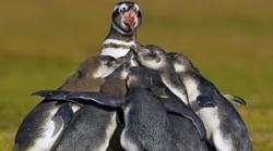piguinii si fotbalul