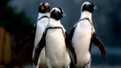 pinguini morti