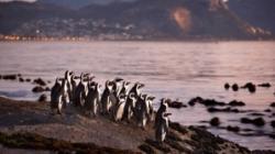 pinguini pe cale de disparitie
