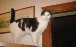 pisica Cleocita