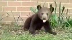 Pui de urs, salvat din la?ul braconierilor