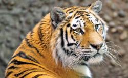 tigrii siberieni