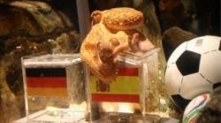 caracatita oracol