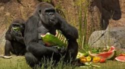Leonardo DiCaprio va produce un documentar despre gorilele din Africa de Est