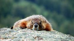 marmota din Muntii Stancosi