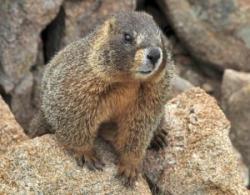 marmote
