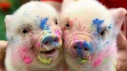 porcii au sentimente