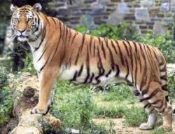 salvarea tigrilor