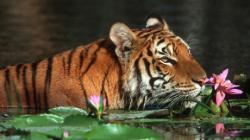 tigru bengalez
