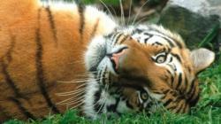 viitorul tigrilor