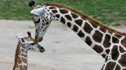 Presedintele Ceceniei vrea sa adopte o girafa din Copenhaga, care ar urma sa fie macelarita