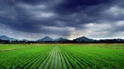 plantatie de orez