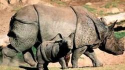 Tot mai mul?i rinoceri uci?i de braconieri în Africa de Sud