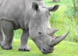 Kenya: Toti rinocerii vor avea un cip implantat in corn