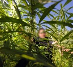 Consumul de cannabis creşte riscul de dezvoltare a cancerului testicular