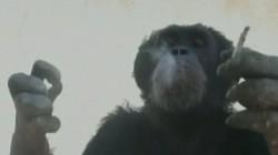 Cimpanzeul fumator