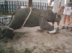 """Elefantii sunt legati si torturati pentru a invata sa """"danseze"""" ca la circ"""