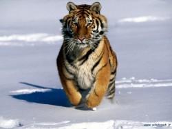 Un program international de protejare a tigrilor aflati pe cale de disparitie va fi lansat