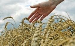 Culturile perene de cereale ar putea fi pe piata in mai putin de 20 de ani