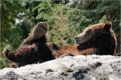 Populatia de ursi grizzly devine din ce in ce mai grasa si mai agresiva din cauza oamenilor