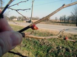 Prunii din zona Somesului au dat in floare la mijloc de noiembrie