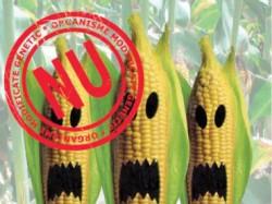 Este interzis? cultivarea de soia ?i porumb modificate genetic