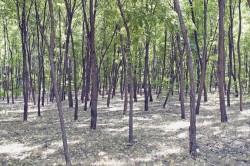 25.000 de puieti de salcam au fost plantati in comunele Raducaneni si Dumesti