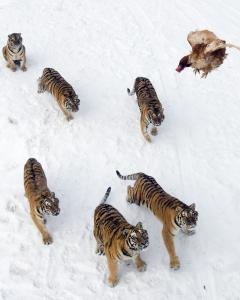 Tigrii riscă să dispară până în 2022. Au mai rămas doar 3.200 de exemplare în natură