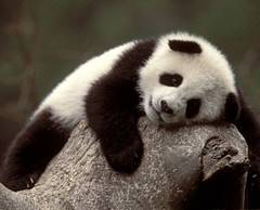 Un urs panda, mascota unui centru de cercetare din China, este antrenat sa se intoarca in salbaticie