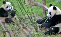 Eforturi pentru salvarea ur?ilor panda gigant