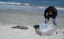 Tulcea: Cinci delfini morti au fost gasiti in plasele braconierilor!