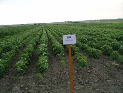 Cercetătorii continuă să apere produsele modificate genetic