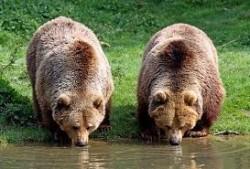 Incepe evaluarea numărului de urşi, râşi, lupi şi pisici sălbatice (specii carnivore protejate)  din Bihor
