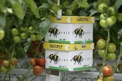 Culturi de legume ?i fructe din vestul ??rii, polenizate natural de bondari adu?i din Belgia