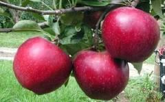 Elvetienii platesc un ONG patronat de printul Charles sa numere soiurile de mere traditionale din Sibiu
