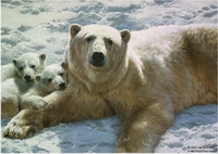 Ur?ii polari devin vegetarieni!