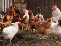 Fermele de p?s?ri, controlate de ANSVSA dup? o alert? de grip? aviar? în mai multe ??ri europene