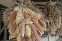 Organismele modificate genetic hr?nesc sau ucid?