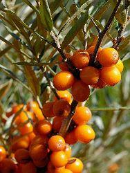 Catina, cel mai puternic antioxidant al organismului