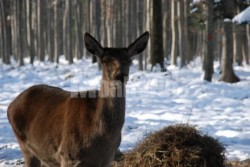 Hrana suplimentara pentru căprioarele, căpriorii, cerbii şi ciutele din pădurile administrate de Direcţia Silvică Suceava